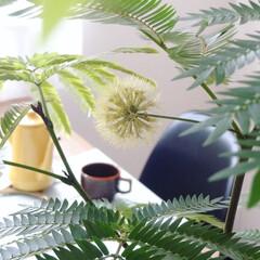 月兔 ホーロースリムポット 0.7L キャメル | 月兎印(ヤカン、ケトル)を使ったクチコミ「我が家のシンボルツリー「エバーフレッシュ…」