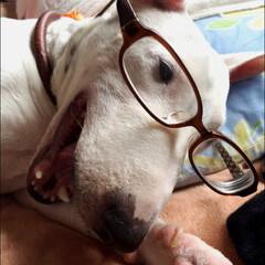 めがね/ペット/犬/ミニチュアブルテリア/あくび/笑顔 名前は、あい 女の子 ミニチュアブルテリ…