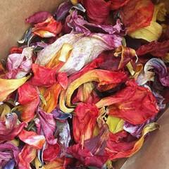 ハーバル染め/ハーブ/チューリップ/花/春/草木染め チューリップの花をドライにした。  …
