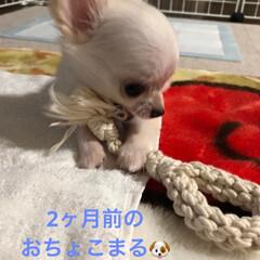 ロングコートチワワ/成長/子犬/犬/4カ月/おちょこまる/... 歯磨きロープで比較🐶  大きくなったなぁ😌