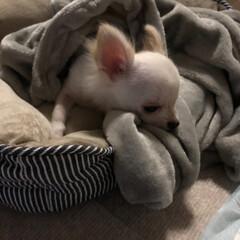 子犬/犬/4カ月/おちょこまる/チワワ/極小チワワ/... 睡魔と戦うおちょこまる🐶  寝顔を見ると…