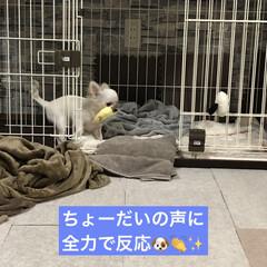 子犬/犬/5カ月/ロングコートチワワ/おちょこまる/極小チワワ/... ちょーだい!の練習中🐶(1枚目)