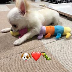 犬/子犬/お友達/ロングコートチワワ/5カ月/おちょこまる/... 新しいお友達あおむしくん🐛  ビビリすぎ…(2枚目)