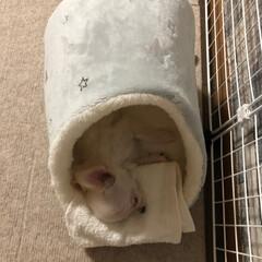 成長記録/子犬/犬/3か月/ベッド/おちょこまる/... やっと見つけた、おちょこまるサイズのベッ…