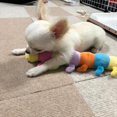 犬/子犬/お友達/ロングコートチワワ/5カ月/おちょこまる/... 新しいお友達あおむしくん🐛  ビビリすぎ…(3枚目)