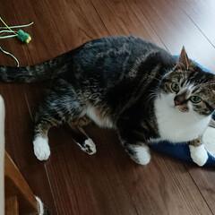 スコティッシュフォールド立ち耳/スコティッシュフォールド/LIMIAペット同好会/ペット/ペット仲間募集/猫/... お気に入りのおもちゃで遊び疲れたら、お気…