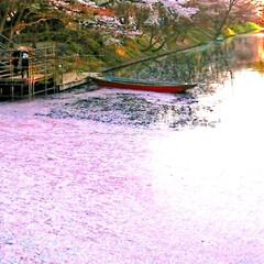 わたしのGW/弘前さくらまつり/夜桜/桜のトンネル/花筏 ✨弘前さくらまつり🌸✨ 西堀と、両岸の桜…(3枚目)