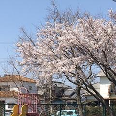 桜満開 やっと満開🌸💕