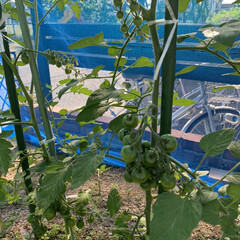 ナス初収穫/家庭菜園 家庭菜園ナス初収穫💕 4月末に植え付けた…(3枚目)