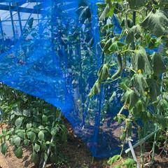 家庭菜園/令和の一枚 家庭菜園💕 すっかりジャングル化しました…(1枚目)