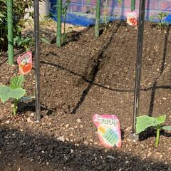 家庭菜園/野菜苗 野菜苗植え付け完了💕 昨日午後から植え付…(2枚目)