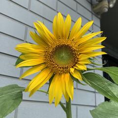種まきひまわり/ひまわり開花 ひまわり開花💕 種をまいてたひまわりが咲…