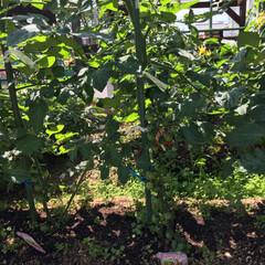 きゅうり初収穫/家庭菜園/令和の一枚/令和元年フォト投稿キャンペーン 家庭菜園きゅうり今年初収穫💕 旦那曰く、…(3枚目)