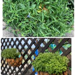 種から撒いた千日紅/お花切り戻し お花切り戻し💕 もりもりに咲いてたお花達…