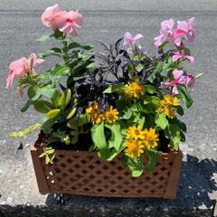 寄せ植え500円/危険な暑さ/猛暑/お買い得/夏の寄せ植え 夏の寄せ植え💕 近くのスーパーで可愛い寄…
