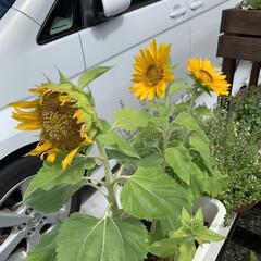 夏到来/ミニひまわり ミニひまわり🌻 種まいたミニひまわりが咲…(2枚目)