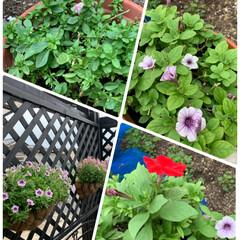 シャインマスカット/サフィニアアートももいろハート/プレミアムペチュニア/切り戻したお花復活 切り戻したお花達復活💕 少し前に切り戻し…