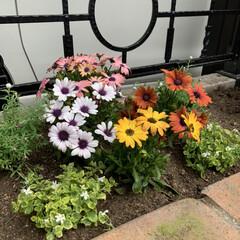 味噌とんこつうどん/シャトレーゼ/花壇寄せ植え 花壇に寄せ植え💕 今日は車で30分程の実…(1枚目)