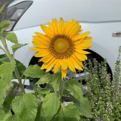 夏到来/ミニひまわり ミニひまわり🌻 種まいたミニひまわりが咲…(1枚目)