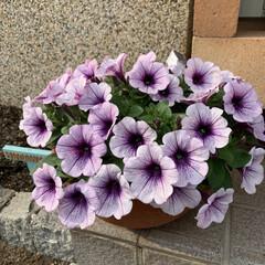 初夏の寄せ植え/ペチュニアレッド/プレミアムペチュニア/摘芯 プレミアムペチュニア💕 摘芯したプレミア…