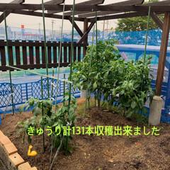 家庭菜園きゅうり収穫終了/ラティスで目隠し/令和の一枚 家庭菜園きゅうり収穫終了💕 今年は計13…(1枚目)