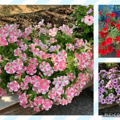 ゴーヤカーテン/ゴーヤの実/サフィニアアートももいろハート/ペチュニア/お花達ますますもりもり お花達ますますもりもり💕 猛暑の中、サフ…