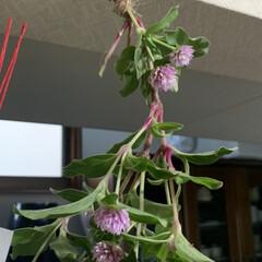 ドライフラワーになるか?/折れた千日紅 千日紅💕 花壇の花殻を取ろうとしたら枝を…
