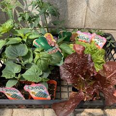 家庭菜園/野菜苗/ドライフラワー出来ず 野菜苗💕 今年も家庭菜園の季節がやってき…(1枚目)