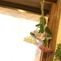 ユーカリ苗/ご近所さんの紫陽花/風習/トイレに紫陽花ぶら下げました トイレに紫陽花💕 今朝のピンクピンクさん…