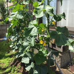 きゅうり初収穫/家庭菜園/令和の一枚/令和元年フォト投稿キャンペーン 家庭菜園きゅうり今年初収穫💕 旦那曰く、…(2枚目)