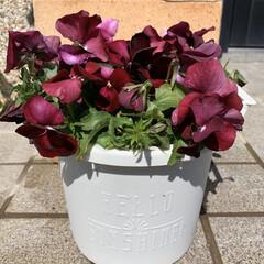 旦那のいちゃもん/めちゃ咲くスミレ/半額寄せ植え 半額になった寄せ植え💕 午前中、ホームセ…