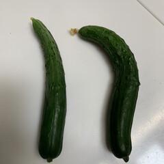 もろきゅう/ブンセンもろみ/家庭菜園きゅうり初収穫 家庭菜園きゅうり初収穫💕 今年も採れまし…