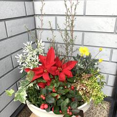 クリスマス寄せ植え教室/クリスマス寄せ植え/ポインセチア/チェッカーベリー/白雪姫 クリスマス寄せ植え教室💕 今日はお休みで…