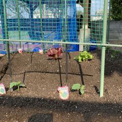 家庭菜園/野菜苗 野菜苗植え付け完了💕 昨日午後から植え付…(3枚目)