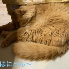 たぬき/欠伸怖い🥱/にゃんこ同好会/猫 おはようございます♫  今朝は気温23℃…