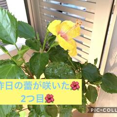 ハイビスカス🌺/にゃんこ同好会 こんにちは😃  ハイビスカス🌺 昨日咲い…(2枚目)