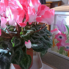 花/植物/シクラメン/生活の知恵/フォロー大歓迎/クリスマス/... 12月に入ったらクリスマス&お正月の準備…