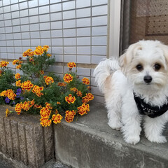 love/チワマルすずちゃん/すず散歩🐶🐾/ペット/犬 ピンぼけしちゃったけど🙄笑