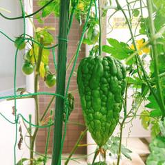 夏野菜/家庭菜園/ベランダ園芸/令和の一枚/フォロー大歓迎/至福のひととき/... お久しぶりです。。 ゴーヤーもスクスクと…