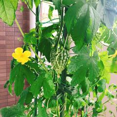 沖縄/ゴーヤー/ミニトマト/プランター菜園/ベランダ菜園/家庭菜園/... ゴーヤー栽培も本日2つ目の雌花を見つけま…