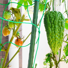 ベランダ園芸/家庭菜園/フォロー大歓迎/暮らし ミニトマトが赤くなってきました