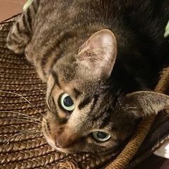 にゃんだふる/ネコ/ねこ/cat/キャット/猫/... 我が家のサバちゃんです😺