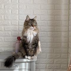 お嬢さん/猫の日/にゃんにゃんにゃんの日/のるうぇじゃんふぉれすときゃっと/ノルウェージャンフォレストキャット/LIMIAペット同好会/... 🐈 ・ 昨日、2月22日 #にゃんにゃん…
