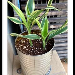 種まき/バジル/植え替え/ドラセナ/お庭 先日、ドラセナの植え替えとバジルの種を蒔…