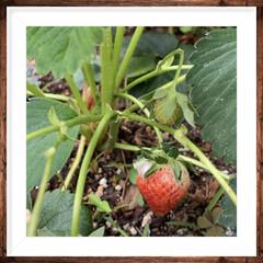 イチゴ/お庭 庭のイチゴが赤くなってきました❤️