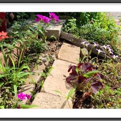草花/お庭 暑いけど日陰が気持ちいい日 勝手に生える…