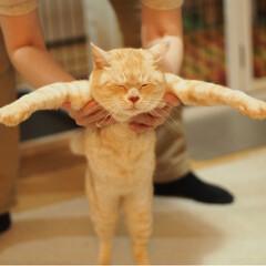 にゃんこ/保護猫/耳が聞こえない猫/茶トラ/ペット仲間募集/猫/... ぽっこりお腹の福ちゃんマン(2枚目)