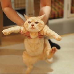 にゃんこ/保護猫/耳が聞こえない猫/茶トラ/ペット仲間募集/猫/... ぽっこりお腹の福ちゃんマン(4枚目)