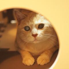 にゃんこ/茶トラ/元野良猫/保護猫/ペット仲間募集/猫/... 中に入ってまったりしてる福ちゃん