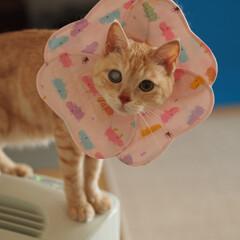 手作りエリカラ/ペット/猫/にゃんこ/福ちゃん 福は男の子なのに…。 ピンク色のエリカラ…(2枚目)